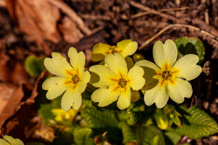 A bunch of primroses in the forest Reklamní fotografie
