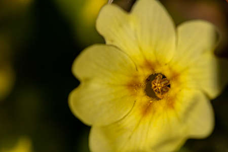 Primroses in the forest, macro shoot