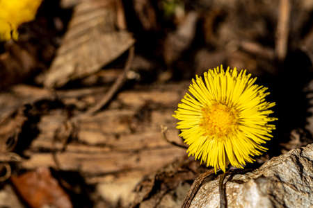 Coltsfoot growing in the forest Reklamní fotografie