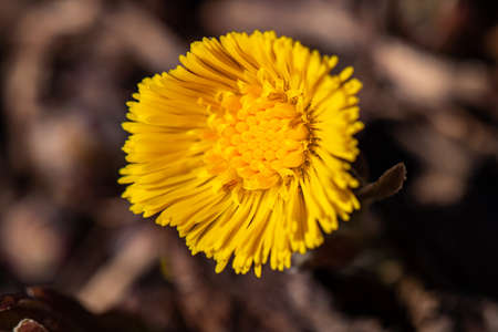 Coltsfoot flower in the forest, close up Reklamní fotografie