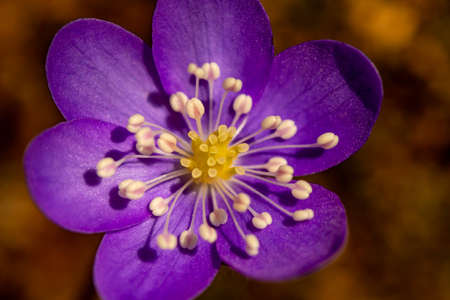 Hepatica flower in the forest