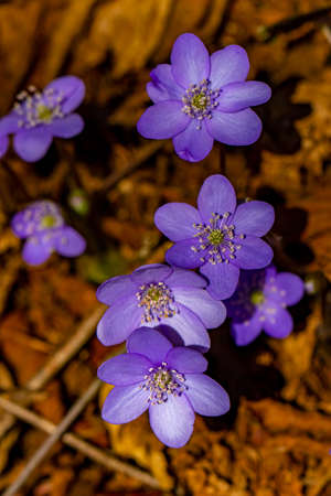 Hepatica flowers in the forest, macro