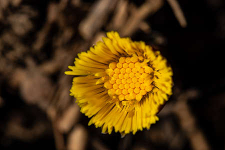 Coltsfoot flower in the forest, macro Reklamní fotografie