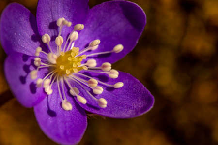 Hepatica flower in the forest, close up