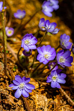 Hepatica flowers in the forest, close up Reklamní fotografie