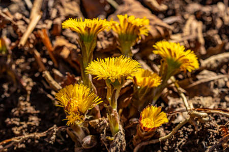 Coltsfoot flowers in the forest