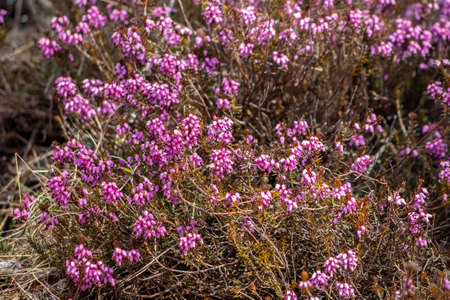 Erica carnea growing in mountains, close up