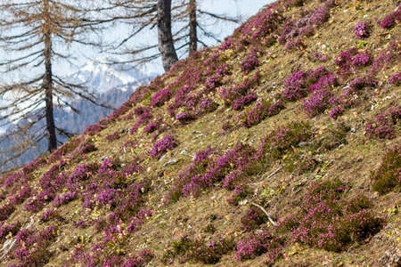 Winter heath growing in mountains
