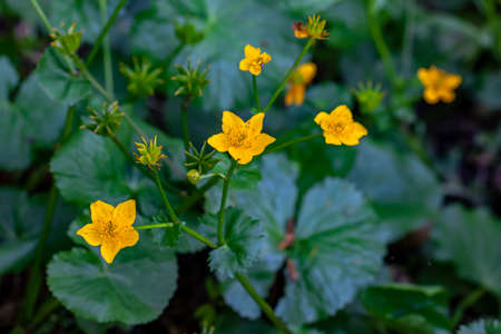 Caltha palustris flower growing in forest, close up Stock Photo