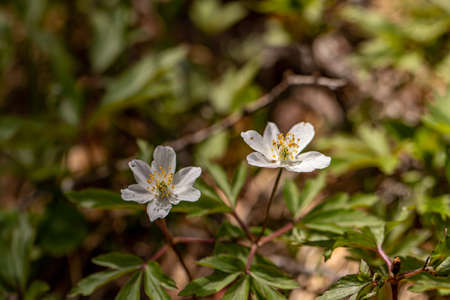Anemonoides nemorosa flower growing in forest