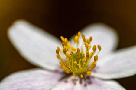 Anemonoides nemorosa flower in forest, macro