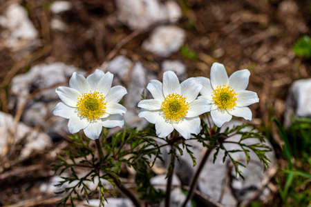 Pulsatilla alpina growing in mountains