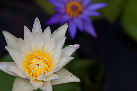 purple lotus or waterlily with yellow carpel and blur purple lotus in background
