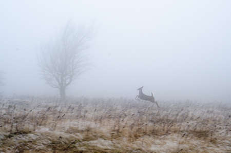 whitetail deer: A whitetail deer runs through a meadow in Dolly Sods Wilderness, West Virginia