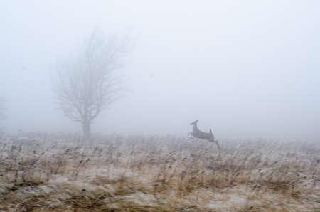 venado cola blanca: Un ciervo de cola blanca se ejecuta a través de un prado en CÉSPE desierto, Virginia Occidental