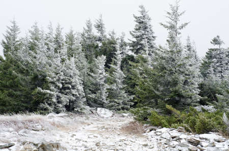 west virginia trees: Spruce trees are covered in snow in Dolly Sods Wilderness, West Virginia