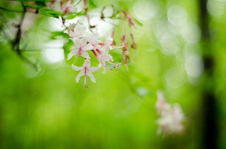 A flowering tree in springtime in Tea Mountain Hollow, Virginia.