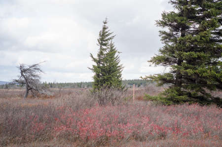 west virginia trees: spruce tree in Dolly Sods Wilderness, West Virginia Stock Photo