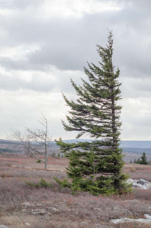 spruce tree: spruce tree in Dolly Sods Wilderness, West Virginia Stock Photo