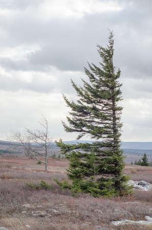 stark: spruce tree in Dolly Sods Wilderness, West Virginia Stock Photo