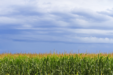 Corn field landscape with storm clouds off in the distance