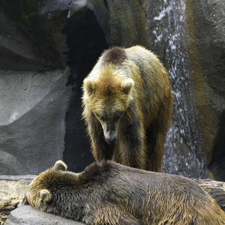 Grizzly bear looks as his sleeping bear friend