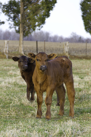 Two calves in a field in springtime looking at the camera 版權商用圖片 - 79923063