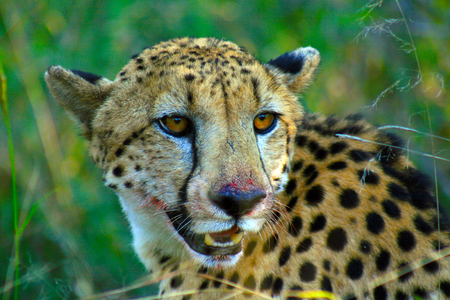 A cheetah with blood on its face from eating a gazelle