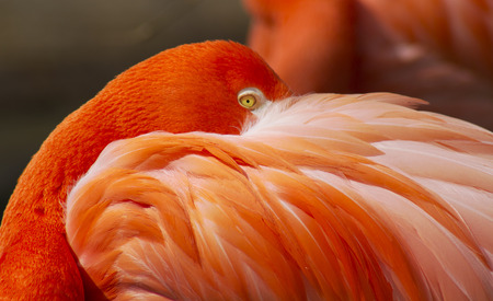 Flamingo hiding its face behind feathers