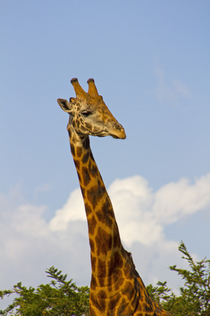 A giraffe with a long neck in Africa Stock Photo