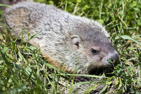 Close up portrait of a young groundhog in the grass at ground level Stock Photo