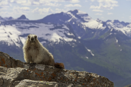 Marmot on a mountain looking at the camera