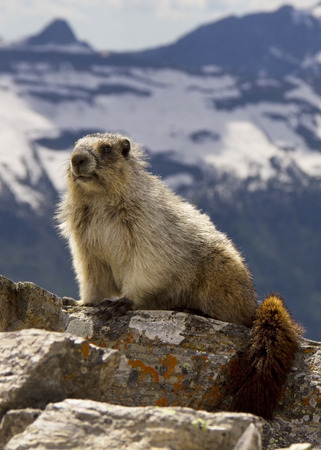 Close up of a marmot in Glacier National Park, Montana Stock Photo