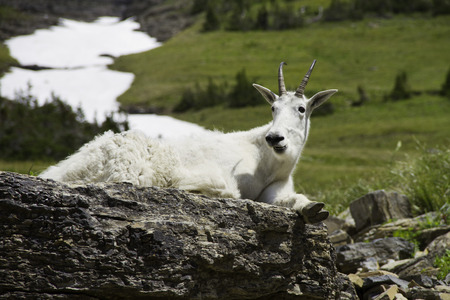 Mountain goat reclining on rocks in Glacier National Park, Montana, USA
