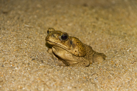 Marine toad (cane toad) burrowing in the sand