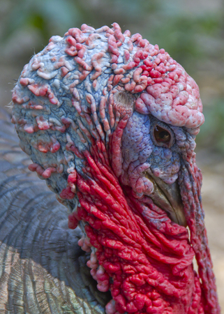 Close up shot of a tom turkey Stock Photo