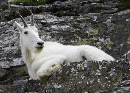 Mountain Goat in Glacier National Park, Montana, USA Reklamní fotografie