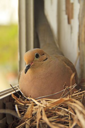 Mourning dove on her nest in a window of an old home Stock Photo