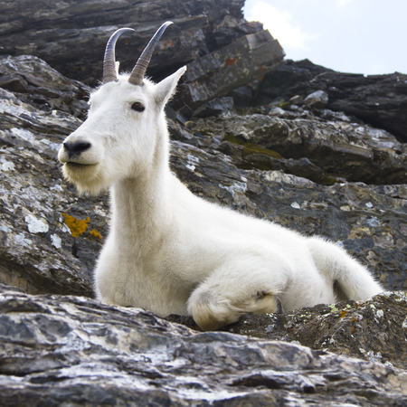 Mountain goat sitting on cliffs, Glacier National Park, Montana, USA Reklamní fotografie