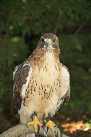falconry: Captive red-tailed hawk with forest in the background