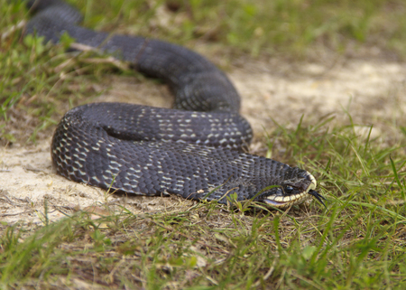 Close up shot of a black hognose snake in the grass Stock Photo