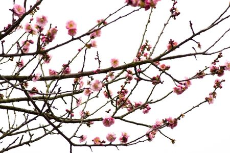 Plum Blossom on White Background photo