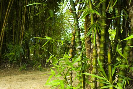 Asian Bamboo forest in hong kong for texture photo