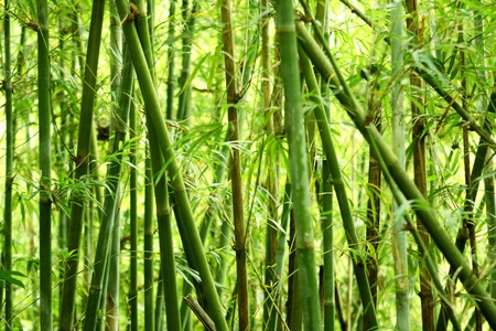 bamboo background in nature at day photo