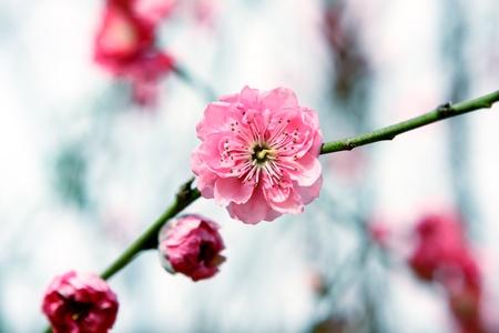 ciruela: Flor de ciruelo, flor China durante el a�o nuevo lunar