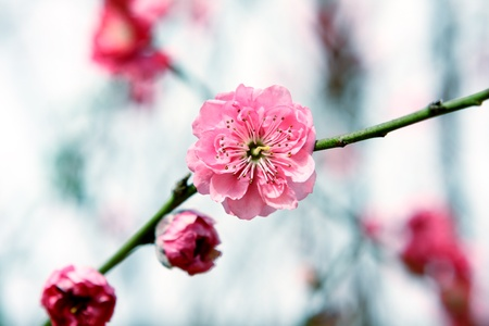 Plum Blossom, chinese flower during lunar new year photo