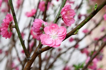 peach blossom, chinese famous flower during new year photo