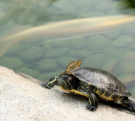 Tortoise on the rock and a fish in the water