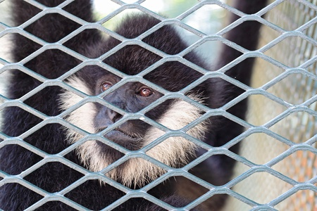 cage gorilla: Close-up of a Hooded Capuchin Monkey contemplating life behind bars in a big city zoo,