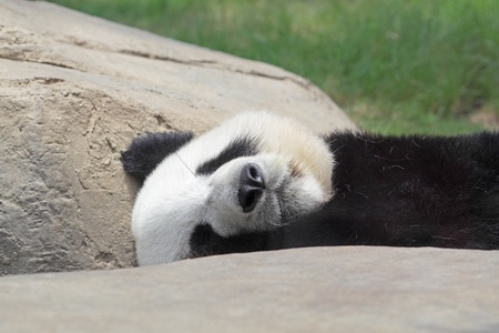 panda bear: Sleeping Panda